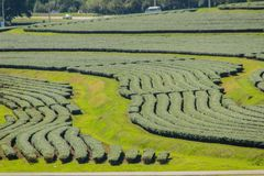 Le file degli alberi del tè nella valle a tè cinese coltivano Bello campo del tè verde nella valle sotto cielo blu e la nuvola bi Fotografia Stock