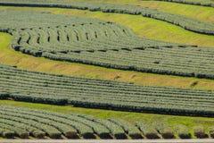 Le file degli alberi del tè nella valle a tè cinese coltivano Bello campo del tè verde nella valle sotto cielo blu e la nuvola bi Fotografie Stock Libere da Diritti