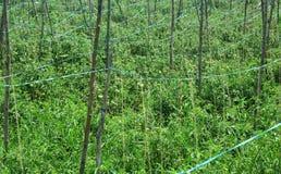 Le file dei rami di albero sostengono le giovani piante di pomodori Immagine Stock
