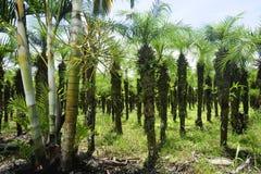 Le file delle palme possono essere vedute nelle zone agricole del Costa Rica fotografie stock libere da diritti