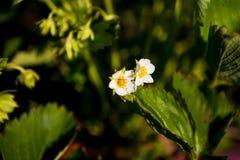 Le file delle piante di fragola in una fragola sistemano Immagini Stock Libere da Diritti