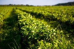 Le file delle piante di fragola in una fragola sistemano Fotografia Stock Libera da Diritti