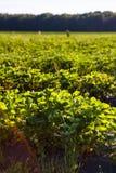 Le file delle piante di fragola in una fragola sistemano Immagine Stock