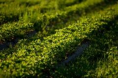 Le file delle piante di fragola in una fragola sistemano Immagini Stock