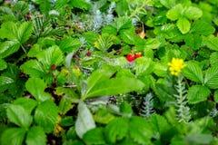 Le file delle piante di fragola in una fragola sistemano dopo pioggia Cespugli verdi Piantatura della tecnologia dei cespugli di  Immagine Stock Libera da Diritti