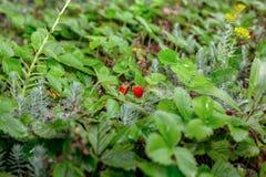 Le file delle piante di fragola in una fragola sistemano dopo pioggia Cespugli verdi Piantatura della tecnologia dei cespugli di  Fotografie Stock Libere da Diritti