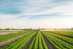 Le file di giovani carote si sviluppano nel campo Verdure organiche agricoltura Azienda agricola Fuoco selettivo immagini stock