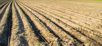 Le file di giovani patate si sviluppano nel campo Irrigazione a goccia Aratura del campo Piantagioni rurali Agricoltura del terre fotografie stock