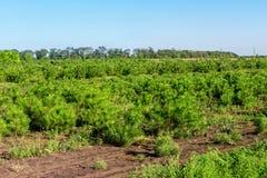 Le file di piccoli pini luminosi alla scuola materna conifera fanno il giardinaggio Giovani conifere crescenti alla piantagione d fotografia stock libera da diritti