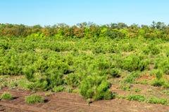 Le file di piccoli pini luminosi alla scuola materna conifera fanno il giardinaggio Giovani conifere crescenti alla piantagione d immagini stock libere da diritti
