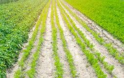 Le file di verdure nel campo, nel paesaggio dell'agricoltura, in patate verdi ed in carote si sviluppano nel suolo, coltivante, l Immagini Stock