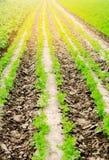 Le file di verdure nel campo, nel paesaggio dell'agricoltura, in patate verdi ed in carote si sviluppano nel suolo, coltivante, l Immagine Stock Libera da Diritti