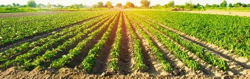 Le file di verdure di pepe si sviluppano nel campo Agricoltura, agricoltura Paesaggio con terreno agricolo Fuoco selettivo immagini stock