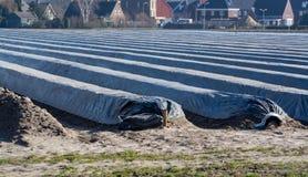 Le file sui giacimenti bianchi dell'asparago coperti di film plastico, cominciano di nuova stagione dell'asparago sull'azienda ag immagine stock libera da diritti