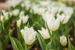 Le file variopinte delle varietà del fiore in tulipano sistemano Fotografie Stock Libere da Diritti