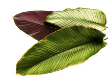 Le filet Calathea d'ornata de Calathea part, feuillage tropical d'isolement sur le fond blanc Photographie stock libre de droits