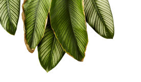 Le filet Calathea d'ornata de Calathea part, feuillage tropical d'isolement sur le fond blanc Photos stock