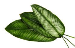 Le filet Calathea d'ornata de Calathea part, feuillage tropical d'isolement sur le fond blanc Photographie stock