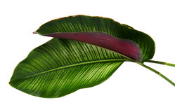 Le filet Calathea d'ornata de Calathea part, feuillage tropical d'isolement sur le fond blanc Photo stock
