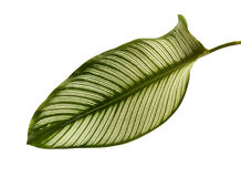 Le filet Calathea d'ornata de Calathea part, feuillage tropical d'isolement sur le fond blanc Image stock