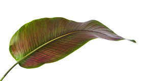 Le filet Calathea d'ornata de Calathea part, feuillage tropical d'isolement sur le fond blanc Image libre de droits