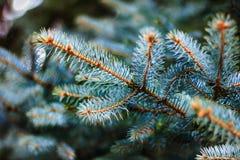 le filiali blu si attillano Primo piano dei rami di albero dell'abete Immagini Stock