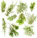 Le filiali delle piante sempreverdi hanno isolato l'insieme fotografia stock
