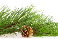 Le filiali verdi fresche del pino e un oro urtano Immagine Stock