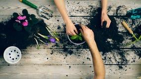 Le fils aide des parents à planter des fleurs dans des pots pendant l'été Remet le plan rapproché clips vidéos