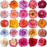 Le fioriture della rosa Fotografia Stock Libera da Diritti