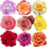 Le fioriture della rosa Immagini Stock