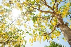 Le fioriture di Esala I bei fiori gialli dorati del Fotografia Stock