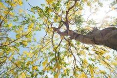 Le fioriture di Esala I bei fiori gialli dorati del Immagini Stock