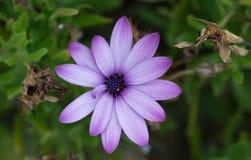 Le fioriture ed appassisce Immagine Stock