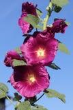 Le fioriture porpora di una malvarosa davanti a cielo blu fotografia stock libera da diritti