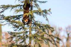 Le firefox de panda rouge Image stock