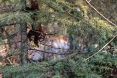 Le firefox de panda rouge Images stock