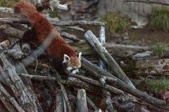 Le firefox de panda rouge Image libre de droits