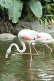 Le flamant blanc dans le zoo Photos stock
