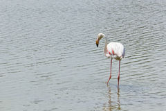 Le flamant rose de la Camargue. A typical french pink Flamingo royalty free stock photos