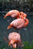 Le flamant rose sur l'eau de la rivière nettoie son plumage Image stock