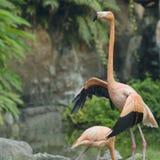 Le flamant rouge dans le zoo Photos libres de droits