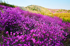 sur le flanc de coteau sont la fleur rose de floraison de pêche au