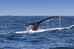 Le flet de baleine de bosse images libres de droits