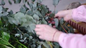 Le fleuriste de fille choisit l'eucalyptus pour la décoration closeup banque de vidéos