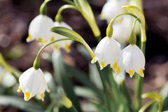 Le flocon de neige de ressort fleurit le vernum de Leucojum Photographie stock libre de droits