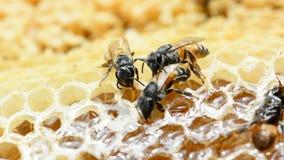 Le florea d'api construisent un nid aucun bruit banque de vidéos