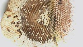 Le florea d'api construisent un nid aucun bruit clips vidéos