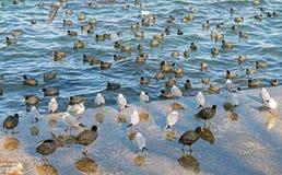 Le flotteur de nombreux canards dans une eau Images libres de droits