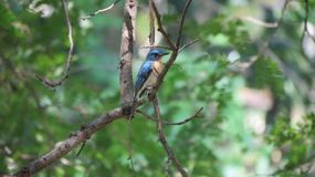 Le FLYCATCHER bleu de colline se reposant sur un arbre Photo libre de droits